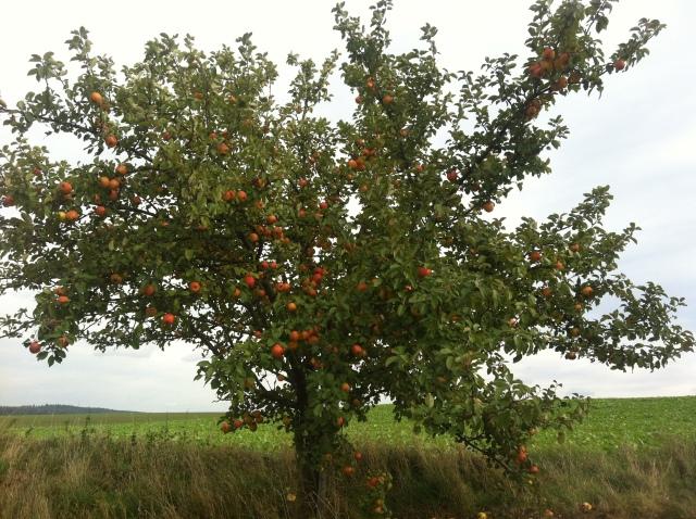 Apfelbaum in Germanien