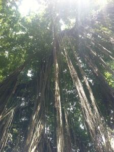 Luftwurzeln eines alten Baumes in Bali