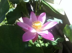 Frisch erblühte Lotusblüte in Ubud, Bali