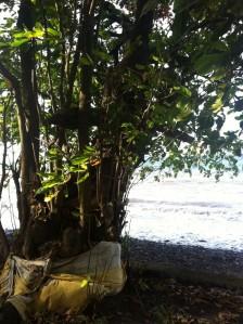 Heiliger Baum am Strand von Bali