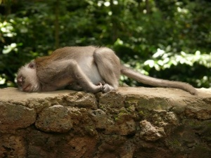 Affe beim Affenwald in Ubud