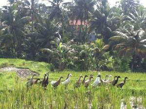 Enten auf Bali